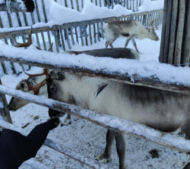 In the lapland you can feed reindeers.